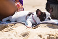 Lying french bulldog puppy on the beach Royalty Free Stock Images