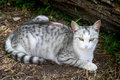 Lying gray striped cat Royalty Free Stock Photo