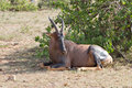 Lying Hartebeest in the Masai Mara Natural Reserve Royalty Free Stock Images