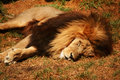 Lying lion large african having a nap in the evening sun Royalty Free Stock Photos