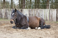 Lying mare with Birth Alarm Royalty Free Stock Photo