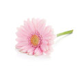 Lying pink gerbera flower isolated on white background Royalty Free Stock Photography
