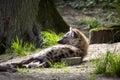 Lying Spotted Hyaena, Crocuta crocuta Royalty Free Stock Photo