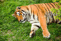 Lying tiger on grass field Stock Images