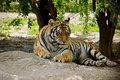 Lying tiger siberian in summer Royalty Free Stock Images