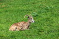 Lying Urial Sheep