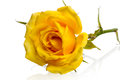 Lying yellow rose isolated on white background Royalty Free Stock Photography