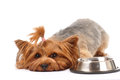 Lying yorkshire terrier portrait with empty bowl looking at camera Stock Image