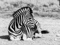 Lying zebra in black and white moremi game reserve botswana Stock Image