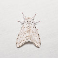 Lymantria marginalis moth close up of on white screen dorsal view flash fired Royalty Free Stock Photos