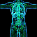 Lymphatic system green front view Royalty Free Stock Image
