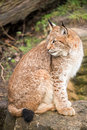Lynx Royalty Free Stock Photo