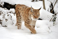 Lynx Lizenzfreie Stockfotos