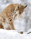 Lynx Lizenzfreies Stockbild