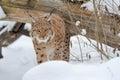 Lynx Lizenzfreie Stockbilder