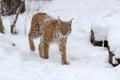 Lynx Stockbild