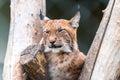 Lynx Imagens de Stock Royalty Free