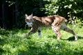 Lynx/Bobcat
