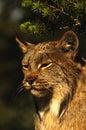 канадский портрет lynx Стоковые Изображения