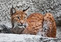 Lynx beautiful photo of graceful big cat Stock Photos