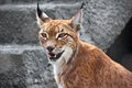 Lynx beautiful photo of graceful big cat Stock Images