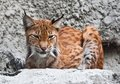 Lynx beautiful photo of graceful big cat Stock Photo