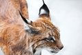 Lynx beautiful photo of graceful big cat Stock Photography