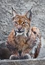 Lynx beautiful photo of graceful big cat Royalty Free Stock Photography