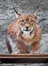 Lynx beautiful photo of graceful big cat Stock Image