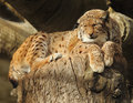Lynx a beautiful resting on a tree Royalty Free Stock Photo