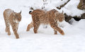 Lynx beautiful wild in winter day Stock Photo