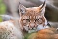 Lynx behind the branches in zoo liberec Royalty Free Stock Images