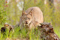 Lynx canadensis stalking Royalty Free Stock Images