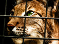 Lynx in captivity Royalty Free Stock Photos