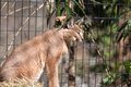 Lynx cat at the national zoo in washington dc Stock Photos