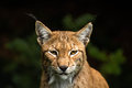 Lynx she cat a wild in a naturialpark in germany Royalty Free Stock Photo