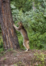 Lynx Climbing Tree Royalty Free Stock Images