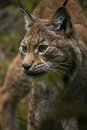 Lynx close up of in forest Stock Photography