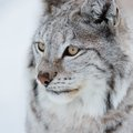 Lynx in the cold winter a european february norway Stock Photos