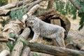 Lynx in de Wildernis Stock Afbeeldingen