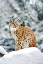 Lynx in de winter Royalty-vrije Stock Afbeelding