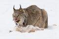Lynx eating a rabbit Royalty Free Stock Photo