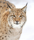 Lynx en hiver Photo stock