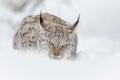 Lynx feeding Royalty Free Stock Photo