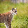 Lynx in the grass eurasian walking green Stock Photo
