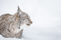 Lynx Head in Profile Royalty Free Stock Photo