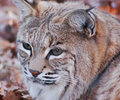 Lynx head shot of beautiful watchful Stock Photo
