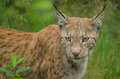 Lynx hunting watching something in summer time Stock Image