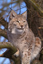 Lynx I Royalty Free Stock Images