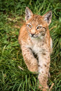 Lynx Kitten Stock Image